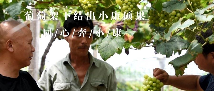 走,一起去采摘葡萄! 摘下小康路上的累累硕果