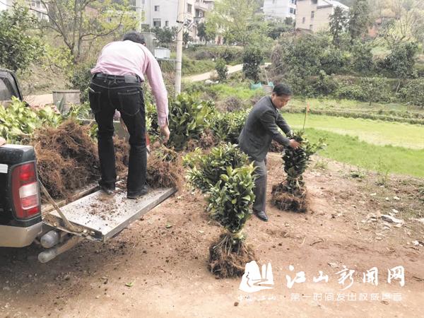 种植马家柚