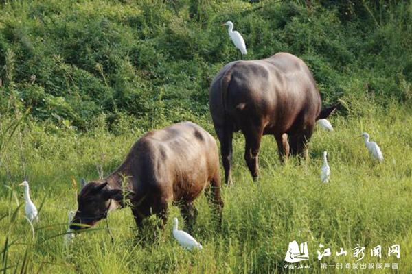 白鹭伴水牛 田园生态美